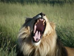 Lion Africat Namibia Conservation Safari Poaching