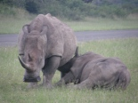rhino and young