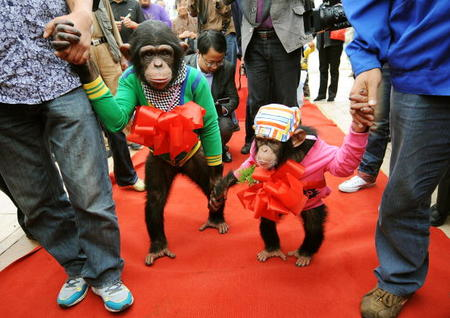 Chimps end up as novelty attractions at zoos in China